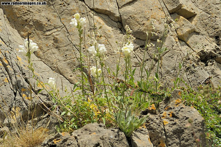 Silene nutans with Antirrhinum