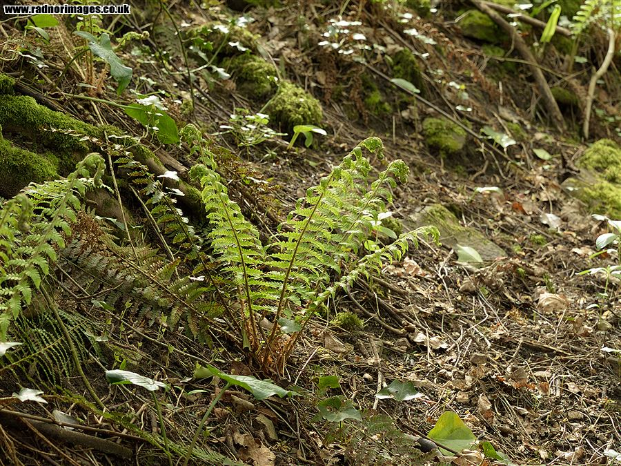 Young Soft-shield Fern