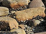 Seashore rocks with limpets