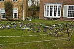 Crocuses with electric fence